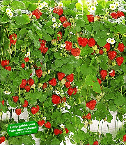 BALDUR-Garten Hänge-Erdbeere