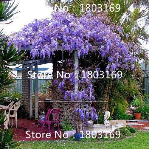 50pcs bleu japonais Wisteria frais Seeds Viable Climber Incroyable Livraison gratuite
