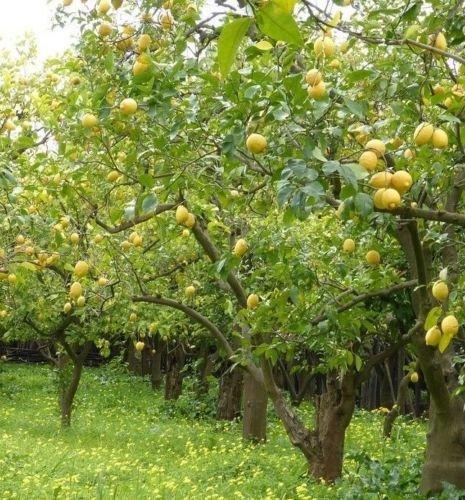 Citron (Citrus limon) des arbres fruitiers Graines -USA-BONSAI-intérieur/extérieur 20+ graines