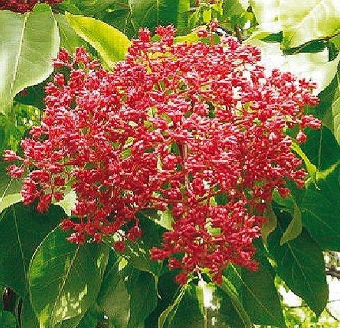 Bienenbaum, Tausendblütenstrauch, Euodia hupehensis, 60-80cm im Topf
