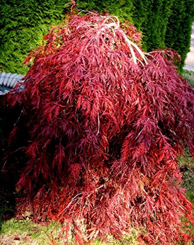 Red Dragon Weeping Lace Leaf Japanese Maple 2 - Year Live Plant