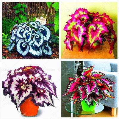 100pcs / bag Begonie Samen Bonsai Blumensamen Hof Balkon Coleus Samen Begonie Topfpflanzen für Hausgarten-Mix