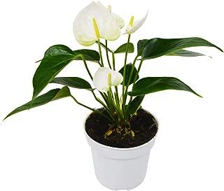 Anthurium 'White' Houseplant hp 001