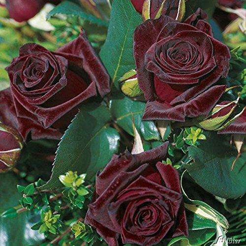 Edelrose Black Baccara in Schwarz-Rot -...