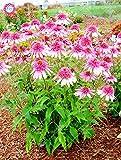 50PCS semillas raras estadounidense Echinacea purpurea hermosas semillas de flor al aire libre plantas en maceta perennes para jardín