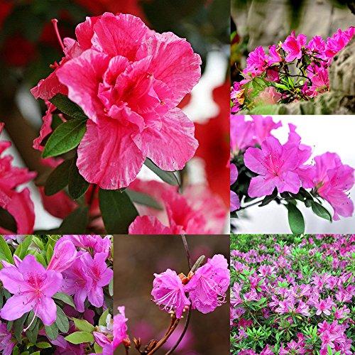 Azalee-Samen, 10 Stück, mehrjährige Sträucher, Azalee, Rhododendron-Samen, Bonsai, Blumen, Gartenpflanzen