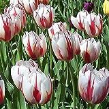 Portal Cool 30 X Humphreys Jardin Happy Generation bulbes de tulipes. Belles rouges/Fleurs blanches
