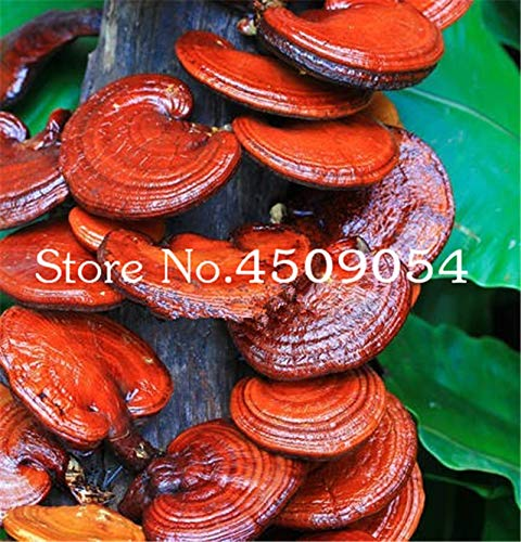 200 stuks ganodermalucidum Bonsai Chinese Lingzhi Reishi champignons, Bonsai Plant For Home Courtyard gezonde plantaardige kruid gewassen: gemengde