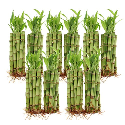 "NW Wholesaler - 6"" Straight Lucky Bamboo Bundle of 100 Stalks"