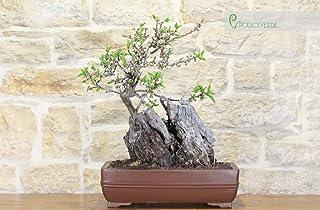 Almond bonsai tree (1)