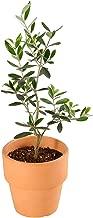 観葉植物 オリーブの木 素焼 鉢植え 4号 インテリア グリーン (品種:おまかせ)