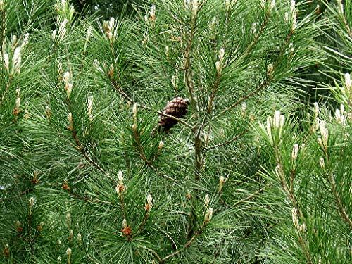 1 oz Seeds (Approx 1750 Seeds) of Pinus halepensis, Aleppo Pine, Pinus alepensis, Jerusalem Pine