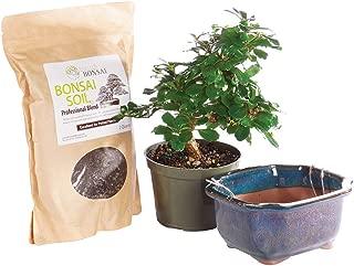 fukien tea tree care