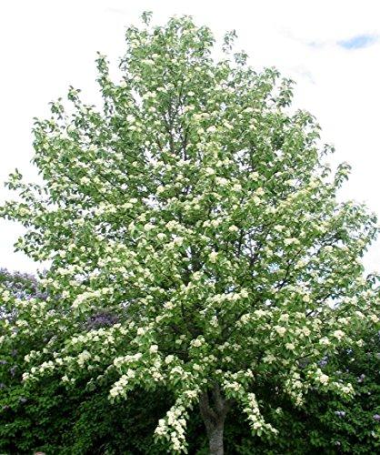 30 graines de sorbier européenne Sorbus aucuparia, Rowan arbre d'ornement CombSH