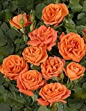 'Orange Dawn' -R-, Kletterrose im 4 L Container