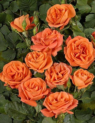 Rosen-Union -  'Orange Dawn' -R-,