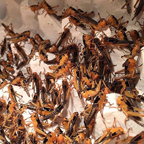Terra-Discount Großpackung Wanderheuschrecken mittel ca.100 Stück - Futterinsekten, Futtertiere