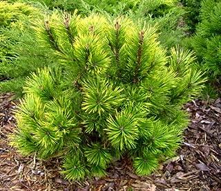 VARIEGATED MUGO PINE - Pinus mugo 'Misty' 2 - YEAR TREE