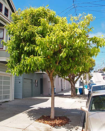 Portal Cool Odorante Joy Arbre (Michelia champaca) 20 Graines fraîches