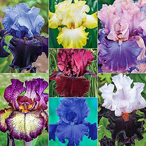 Cebollas iris embellecer el medio ambiente espléndida planta especies raras exquisitamente decorado estudio excelentes flores cortadas-6 bulbos
