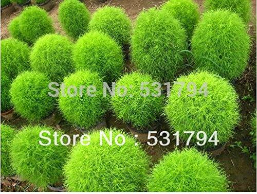 Haute qualité. Livraison gratuite! plante couverte d'oxygène balcon usines de 100pieceFlower semences Kochia graines de fleurs en pot