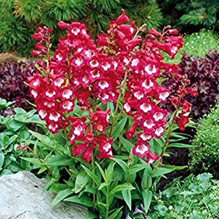 penstemon tubular bells