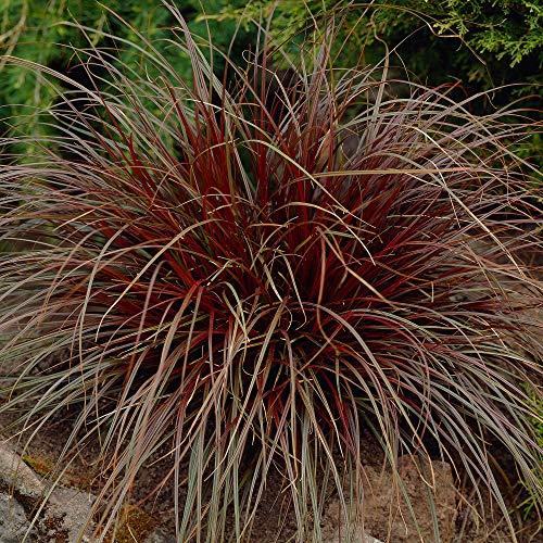 Uncinia rubra | Mahagonigras rot | Ziergras Winterhart Mehrjährig | Höhe 30-60 cm | Topf-Ø 14 cm