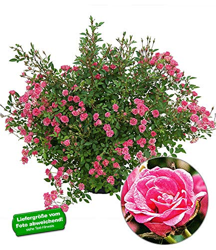 BALDUR Garten Lilly Rose® Wonder5, 1 Pflanze Balkonrose für Töpfe und Kübel winterhart