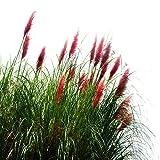 Fnho Raras Semillas de Hierba,Planta Maceta Semillas,Flores perennes, balcón jardín Flores-Rojo_500 Grano