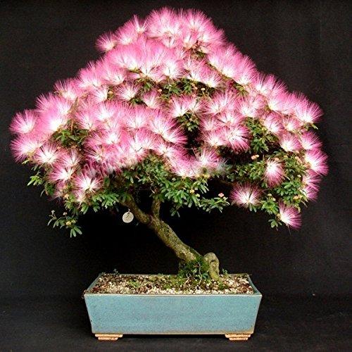 PhilMat 10pcs il giardino albizia julibrissin il fiore semina l'albero di fiore di velluto l'impianto conservato in vaso