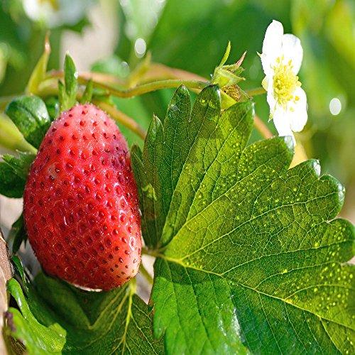 Bio-Saatgut Nicht nur Pflanzen: Mara des Bois immertragende Stroh 50 - DIE Beste Geschmack! - Re by FÄHRE Seed