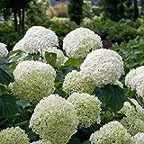 Hydrangea arborescens'Strong Annabelle' | Schneeball Hortensien Pflanzen | Winterharte Pflanzen für Garten | Höhe 25-35 cm | Topf-Ø 19 cm