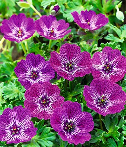 Qulista Samenhaus - 15pcs Rarität Winterharte Geranie purpurfarben Blumensamen winterhart mehrjährig