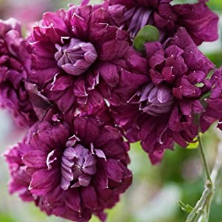 "SmartMe Live Plant - Purpurea Plena Elegans Clematis viticella - Double Purplish Red Blooms - 2.5"" - Flowering Plant"