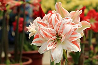 Elegant Amaryllis Barbados Lily Bulbs Hippeastrum Bulbs(4 Bulb) Hot Flowers Yard Garden Plants Home Balcony Bonsai(Pink)