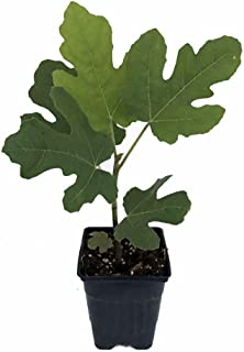 Chicago Edible Fig Plant - Ficus - Hardy - The Hardiest Fig by Growers Solution