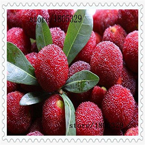10 PC / paquete, semillas madroño semillas Myrica rubra semillas de arrayán rojo madroño perennes sabor semillas de árboles de fruta dulce