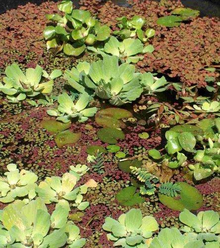 Mühlan – 5 x winterharter Teichrasen, jede Matte mind. 5×7 cm, Gegen Algen und Schmutz, Unterwassergras, Moos, Begrünung des Teichrandes, Unterwasserrasen - 5