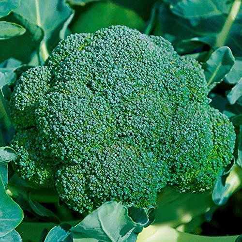 SummerRio Garten-Brokkoli Samen Bio Brokkoli Keimsaat Brokkolisamen für die Zucht von Brokkolisprossen lecker in Salaten(10/30/50/100 Pcs) (100 Pcs)