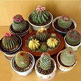 Qbisolo Graines de Cactus de Paquet Original,Graines de Fleur de Bonsaï de Figue de Barbarie, Graines de Paquet Professionnelles,Plante de Pot Pour le Jardin à la Maison