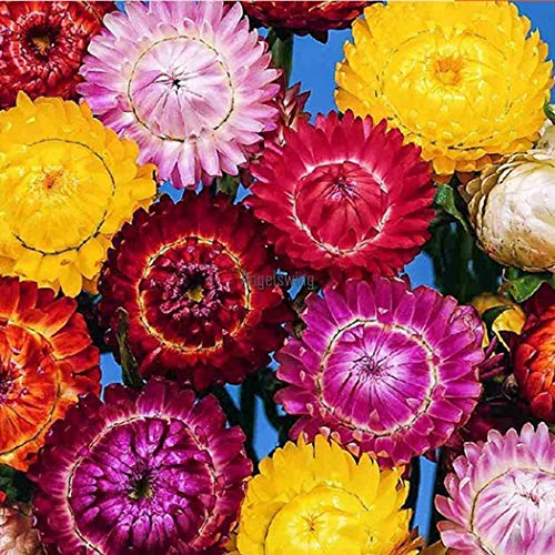 Portal Cool Jaune: New Nice Adorable Flower Blagues ParfuméES Graines De Pailles De Chrysanthème Agsg
