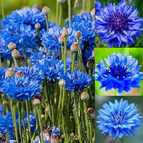 Qulista Samenhaus - 20/100pcs Kornblumen 'Blauer Junge' Blumensamen winterhart mehrjährig für Blumenwiesen/Blumenbeet/Bauern- und Naturgärten