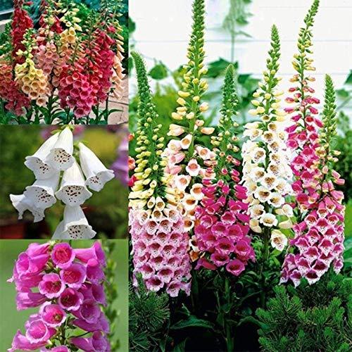 NAttnJf Samen zum Pflanzen, 1 Beutel Digitalis-Samen Kleine natürliche, nicht gentechnisch veränderte, gut aussehende Blumen-Fingerhut-Samen für den Garten - Digitalis Purpurea-Samen