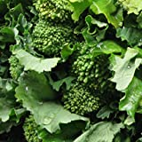 Broccoli Raab Heirloom Great Vegetable Seeds by Seed Kingdom Bulk 1,000 Seeds
