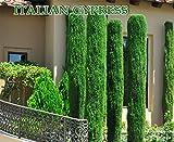 Italian cypress (Cupressus sempervirens)100 Seeds,Tuscan, or Graveyard Cypress