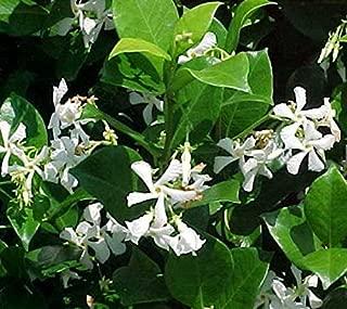 Confederate Jasmine Evergreen Vine - Live Plant - 2-3 Feet Tall - Full Gallon Pot