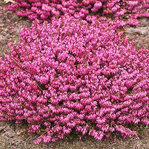Winterheide - rot - Erica carnea - mit purpur-roten, feurigen Blüten - Schneeheide Winterblüher Heide-Pflanze - von Garten Schlüter - Pflanzen in Top Qualität