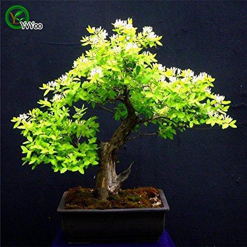 Schlussverkauf! Lonicera Blumensamen (Etruscan Geißblatt) Perennial Kletterpflanze Gartendekoration Pflanze 30pcs Samen der Hoffnung