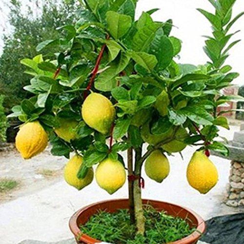 Ncient 10/20/50 Semi Sementi di Limone Albero di limoni Semi di Frutta Fiori Rari Piante Bonsai per Orto Giardino Balcone Interni ed Esterni