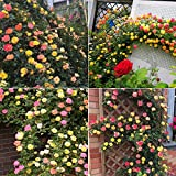 Climbing Roses Fragrant Vine Climber Plant Seeds 100 PCS (Mixed Color)